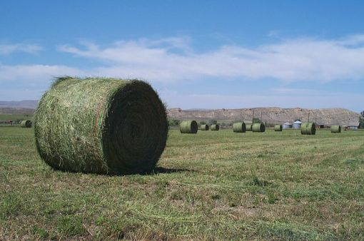 So: Water --> alfalfa --> Chinese cows.